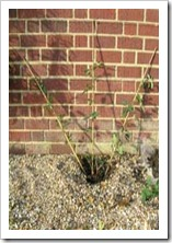 زراعة نبات الجهنمية(المجنونة Bougainvillea 6_thumb[2].jpg?imgmax=800